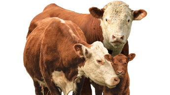 two beef cattle
