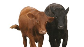 stocker/feeder cattle