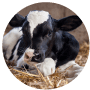 MULTIMIN® 90 Trace Minerals for Dairy Calves